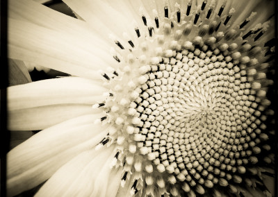 Sunflower_Spiral