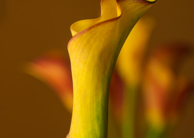 Yellow_Calla_Lilly_two