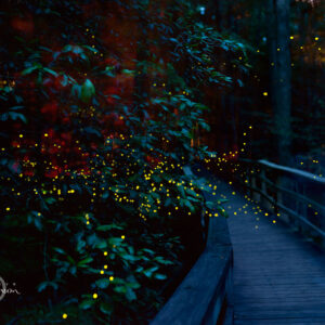Congaree Fireflies